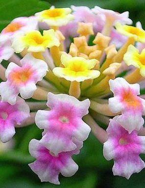 نبات اللانتانا كمارا