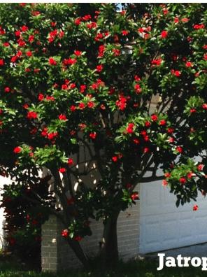 شجرة الجاتروفا