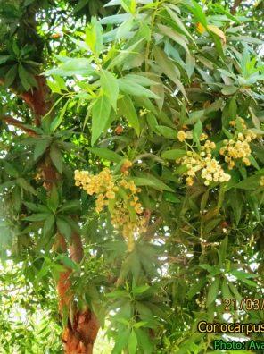 شجرة الكينو كاربس