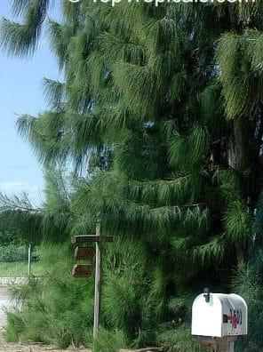 شجرة اثل امريكي