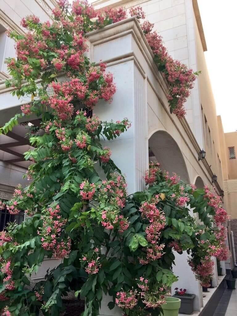 نبات الياسمين الأحمر او ما يسمى ب Quisqualis Indica او Rangoon Creeper مشتلي