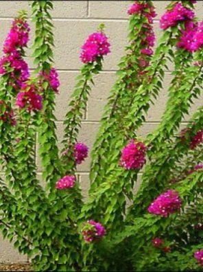 نبات جهنمية قزمية