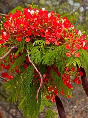 شجرة بونسيانا