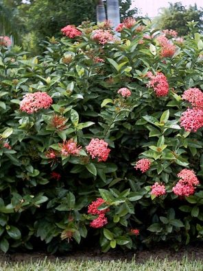 نبات اكسورا الوردية