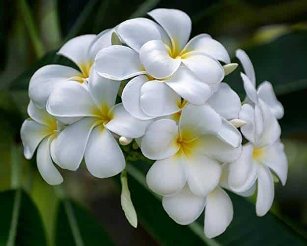 شتلة الياسمين الهندي او البلوماريا او ما يطلق عليها Plumeria مشتلي