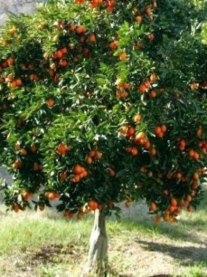 شجرة برتقال ابو صرة