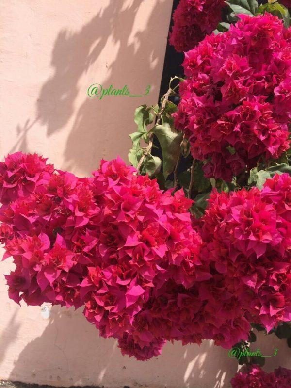 نبتة جهنمية المكبس