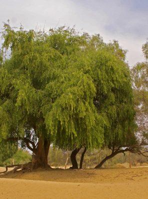 شجرة المسواك