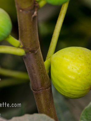 شجرة التين الاصفر