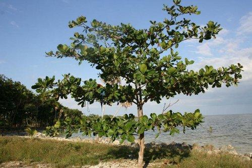 شجرة لوز حساوي