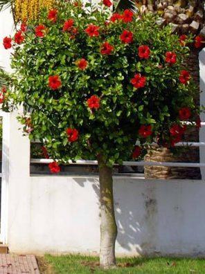نبات هيبسكس
