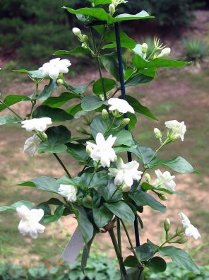 نبات الفل الجيزاني