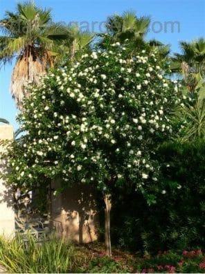 شجرة الموراي