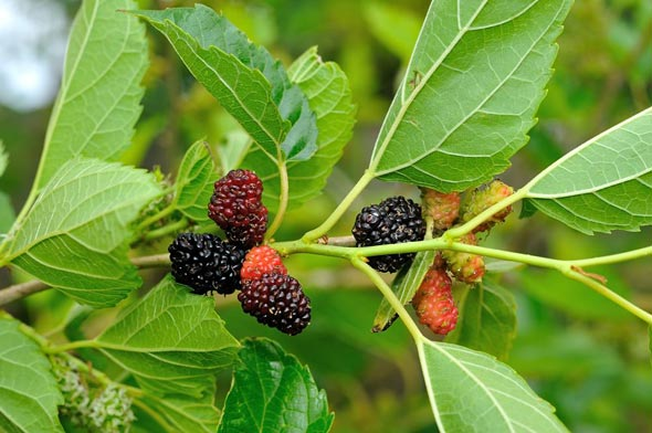 شجرة توت بلدي او ما يسمى باللغة الانجليزية Black Mulberry مشتلي