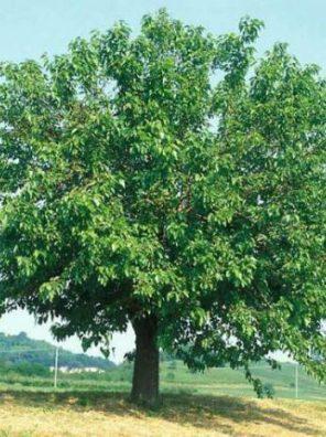 شجرة توت بلدي
