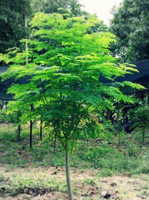 شجرة مورينجا
