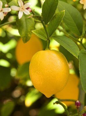 شجرة الليمون الشهري