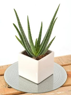 نبات صبار الالوفيرا