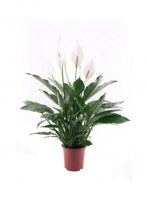نبات الاشرعة البيضاء