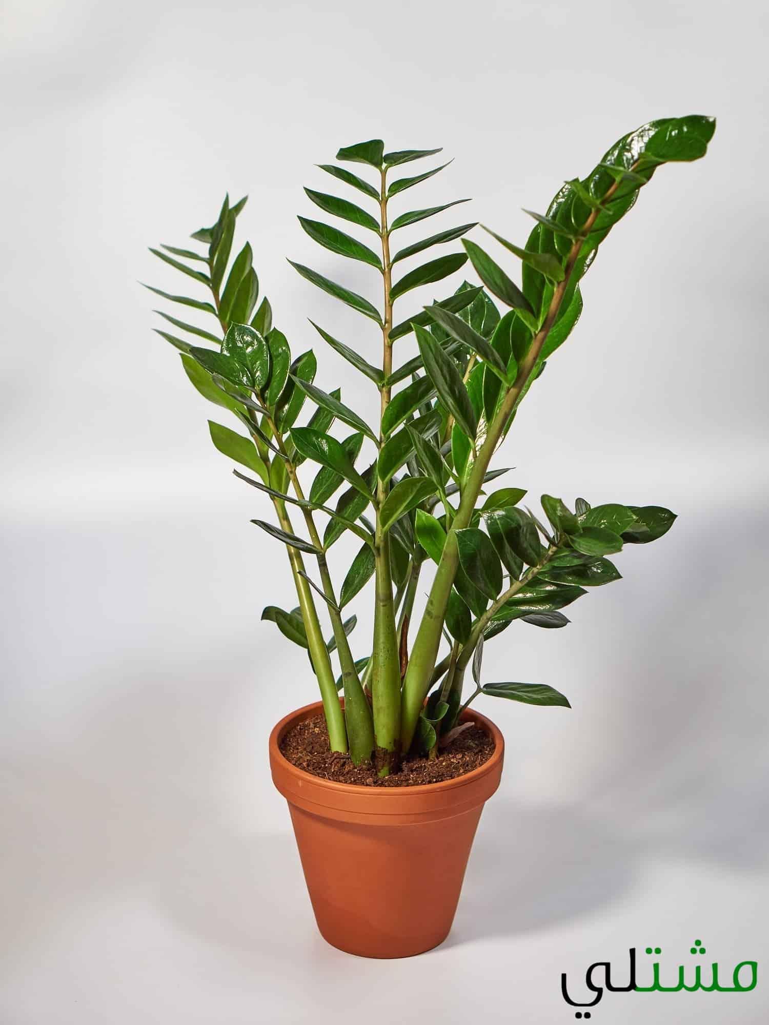نبات الزاميا كولاس و اسمها العلمي Zamioculcas Zamiifolia مشتلي