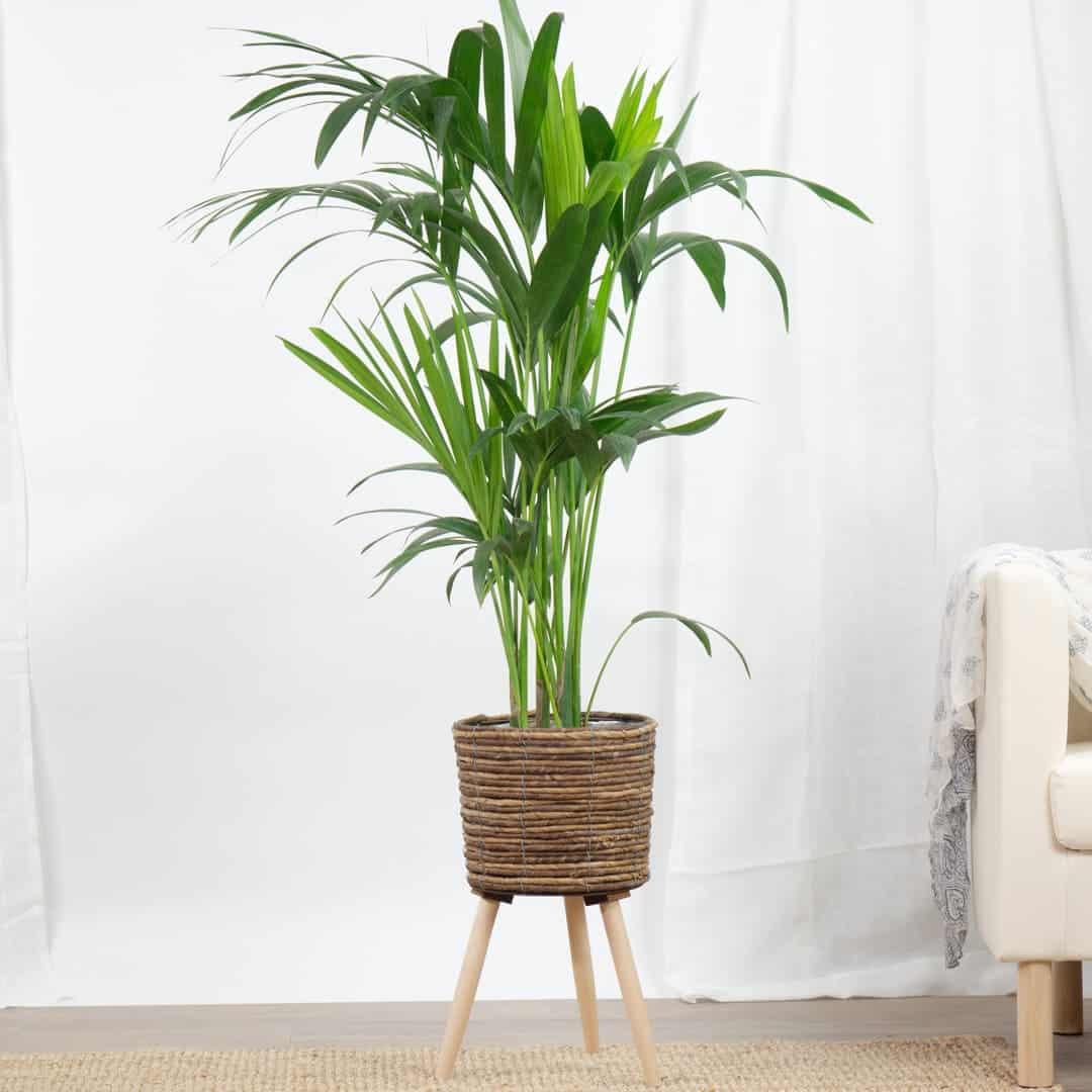 نبات الكينتيا