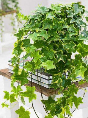 نبات الهيدرا