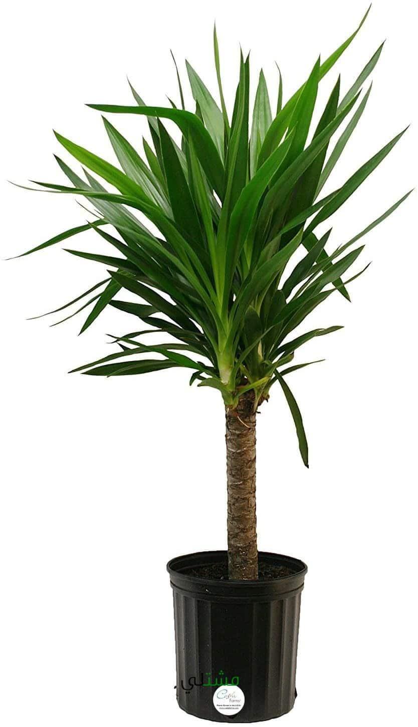 نبات اليوكا الداخلي و اسمه العلمي Yucca مشتلي