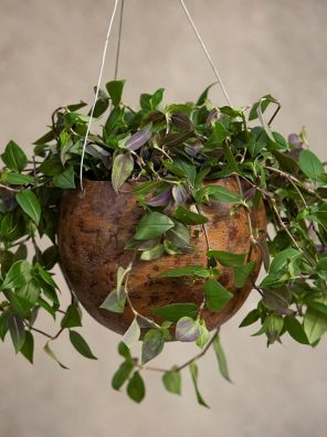 نبات ترادسكانتيا