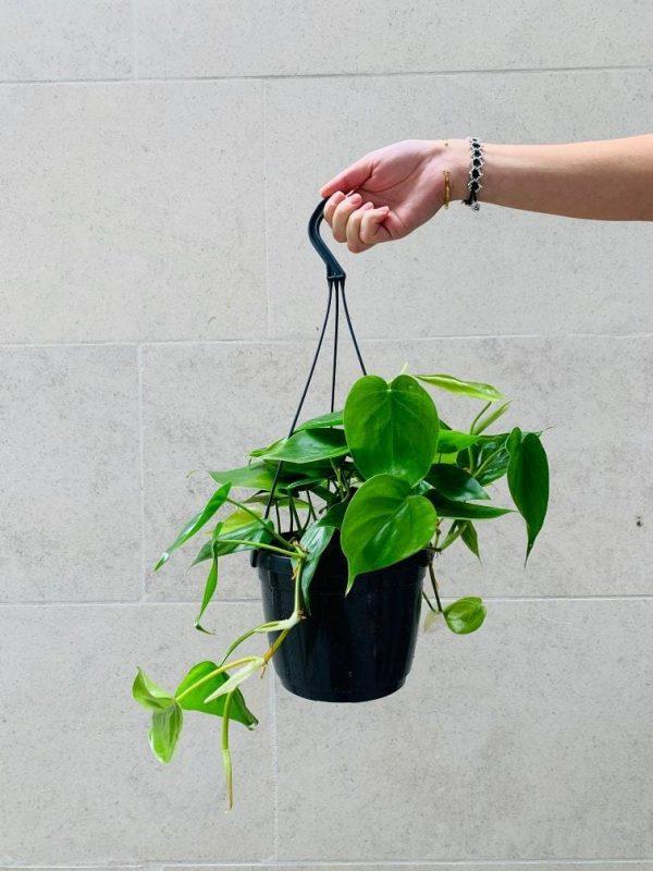 نبات كرمة المحبوب