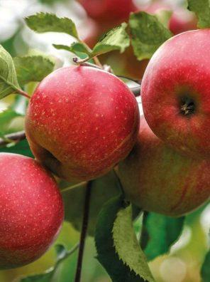 تفاح امريكي احمر