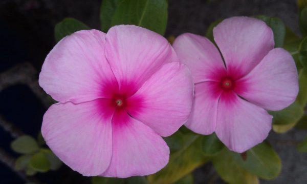 نبات الونكة