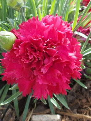 زهرة القرنفل البلدي